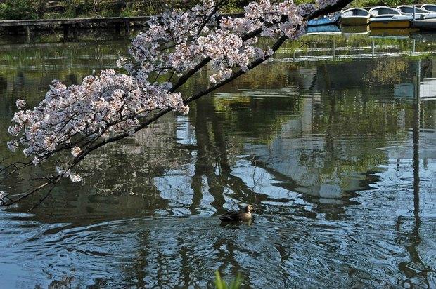 20200326_善福寺公園・井の頭公園_4.JPG